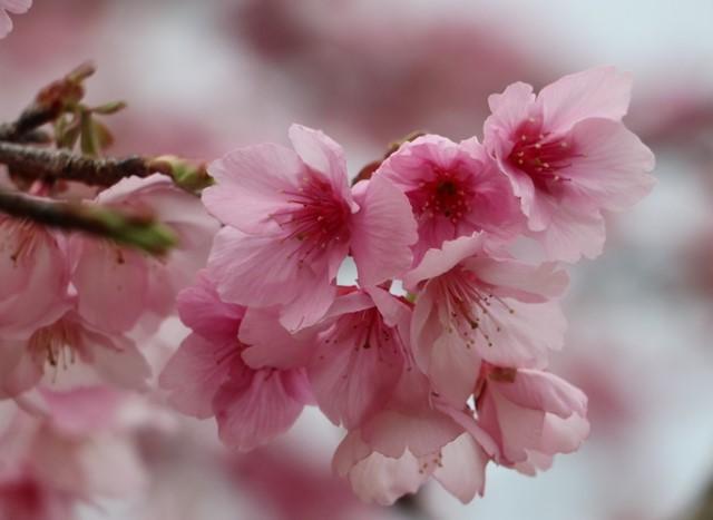 VPUB - Chiêm ngưỡng vẻ đẹp yêu kiều, rực rỡ của hoa Anh đào Pá Khoang